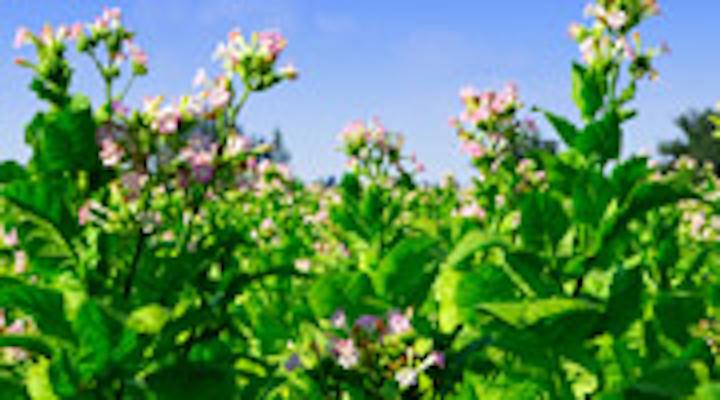 Content Dam Diq Online Articles 2015 03 Tobacco Thumbnail