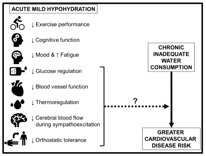 Summary of the physiological consequences of acute mild hypohydration in healthy humans